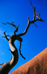 AW004 - Ayers Rock and Dead Tree