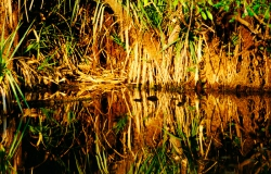AW010 - Mangrove reflection