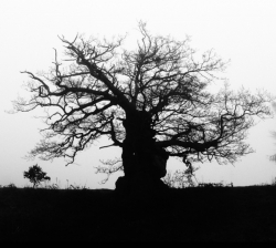 PC008 - Ancient oak, Hatfield Park, UK
